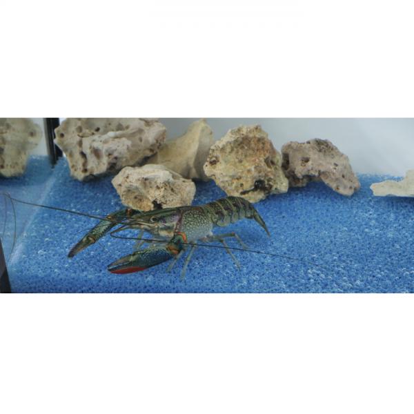 Rot-Scherenkrebs, Cherax quadricarinatus